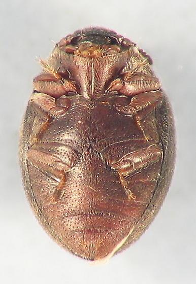 tiny brown dot - Limnichoderus ovatus