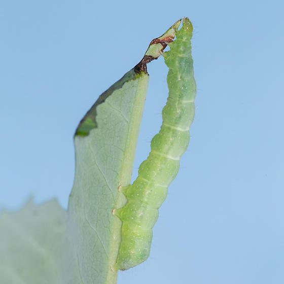 Trichoplusia ni - Trichoplusia ni
