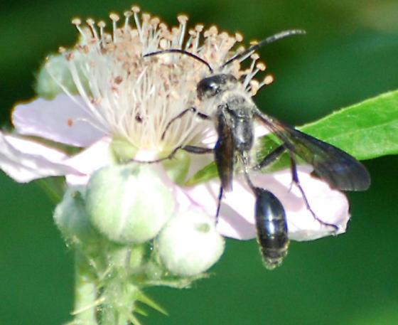 Thread Waisted Wasp #3 - Isodontia mexicana