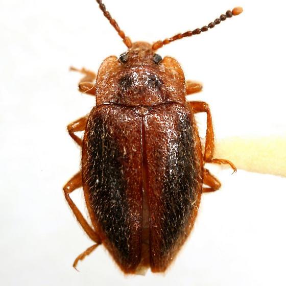 Epipocus punctatus LeConte - Epipocus punctatus