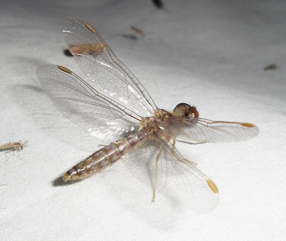 unid. dragonfly - Perithemis tenera