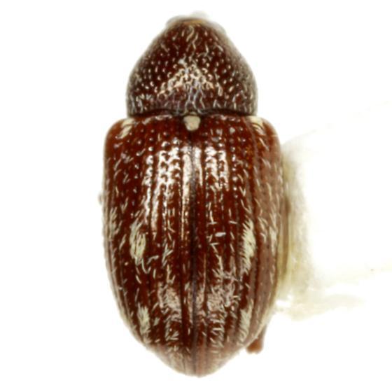 Anthonomus aeneolus Dietz - Anthonomus aeneolus