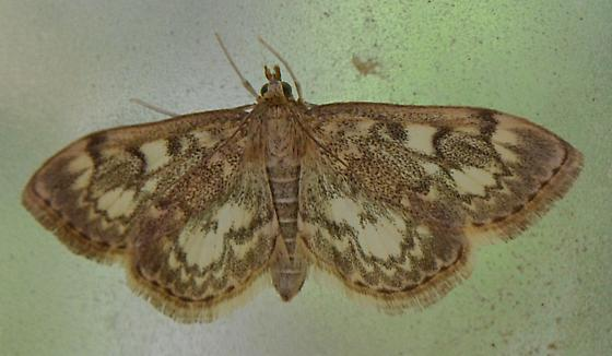 lovely moth - Anania