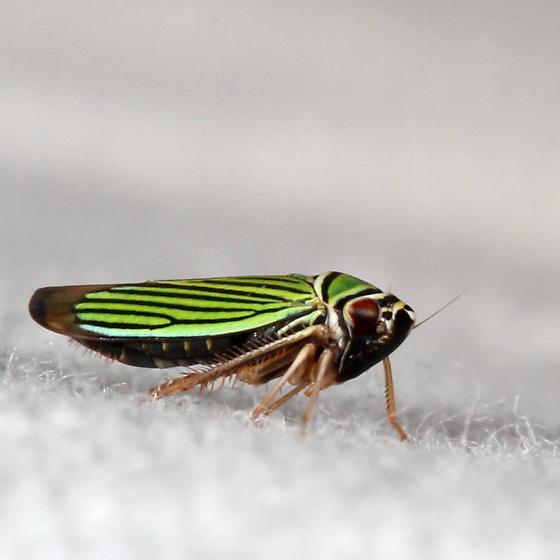 leafhopper - Tylozygus bifidus
