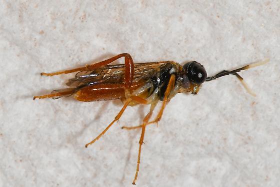 micro sawfly