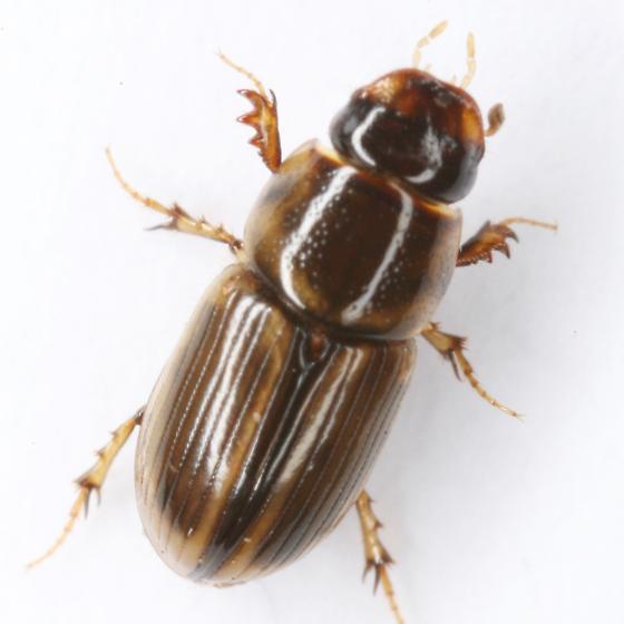 Aphodius (Labarrus) pseudolividus Balthasar - Aphodius pseudolividus