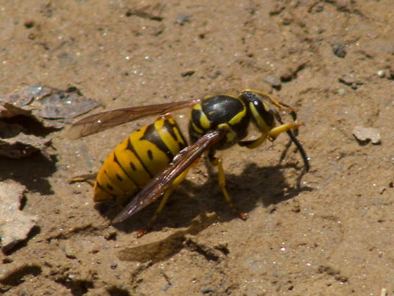 Yellow-trimmed hornet - Vespula maculifrons