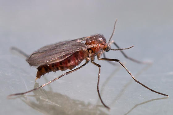 gall midge - female