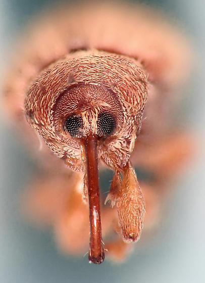 weevil night - weevil #1 - Lignyodes helvolus