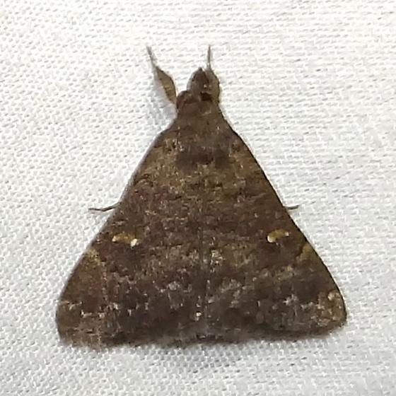 Dark Brown Moth Mystery - Hypenula cacuminalis