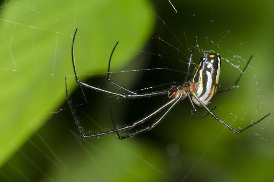 Orchard Spider - Leucauge argyra