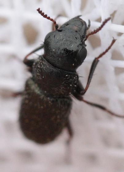 Beetle - Asydates grandiceps