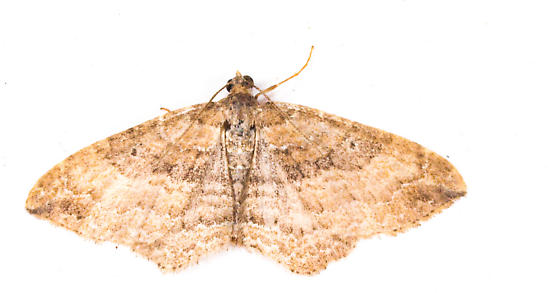 Moth to porch light  - Orthonama obstipata
