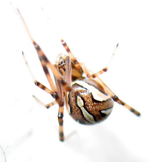 Latrodectus geometricus? - Latrodectus hesperus - female
