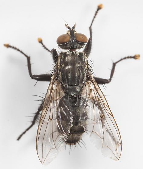 Fly - male