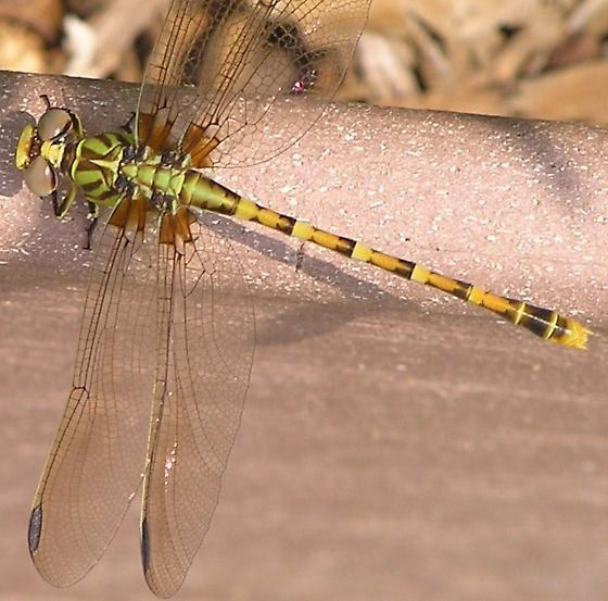 Dragon - Erpetogomphus designatus