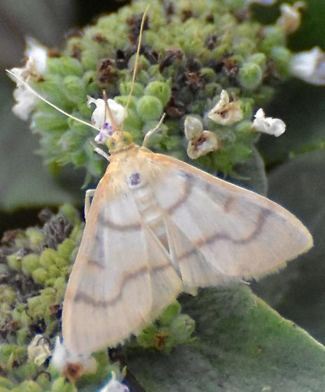 white moth with a few, horizontal lines across the wings