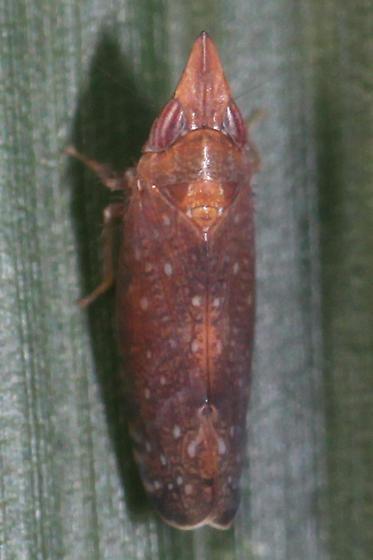 leafhopper - Scaphytopius rubellus