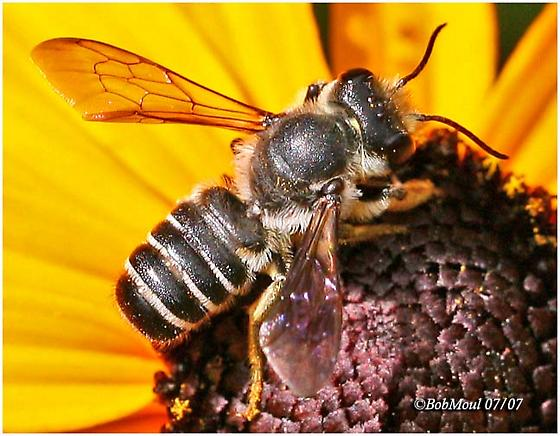 Leaf Cutting Bee - Megachile - male