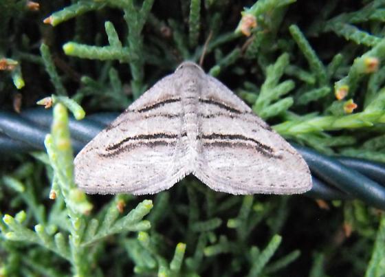 geometrid moth? - Digrammia excurvata