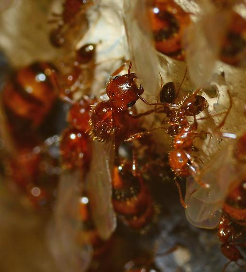 Common fire ant? - Solenopsis xyloni