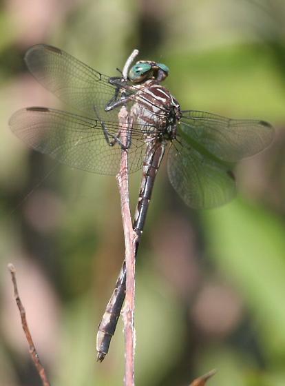 Elusive Clubtail - Ohio - Stylurus notatus - female