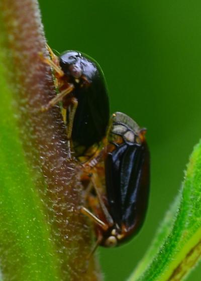 black treehoppers - Acutalis tartarea