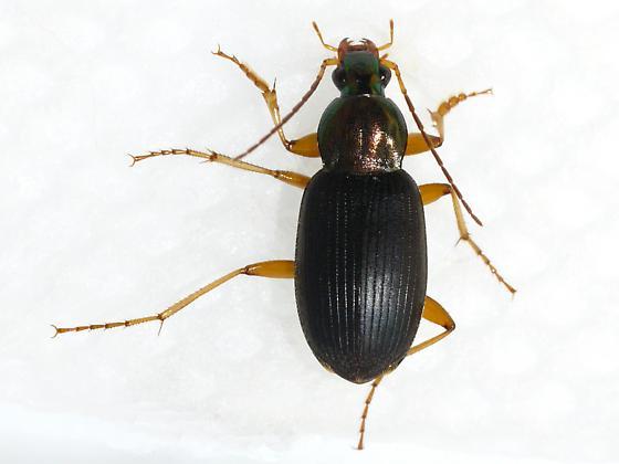 beetle - Chlaenius tricolor - male