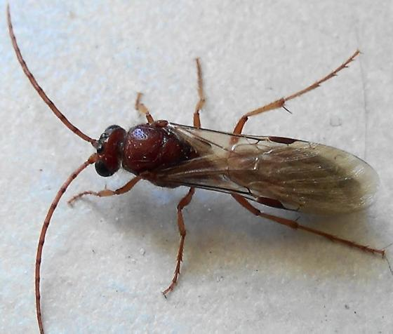 Tiphiid Wasp with Primary Submarginal Isolation (dorsal) - Colocistis crassa - male