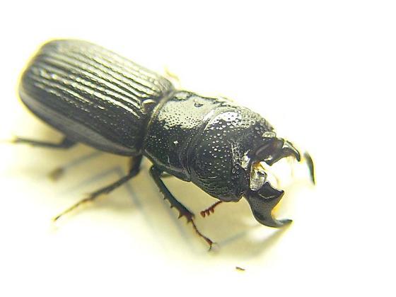 Ceruchus striatus - male