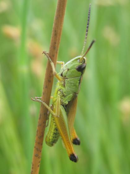 Chorthippus curtipennis - male