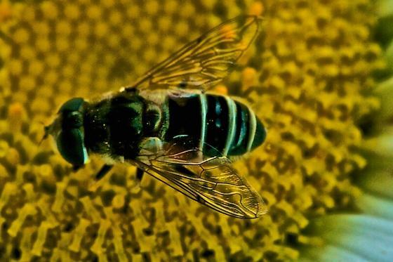 Hoverfly on Shasta Daisy - Eristalis