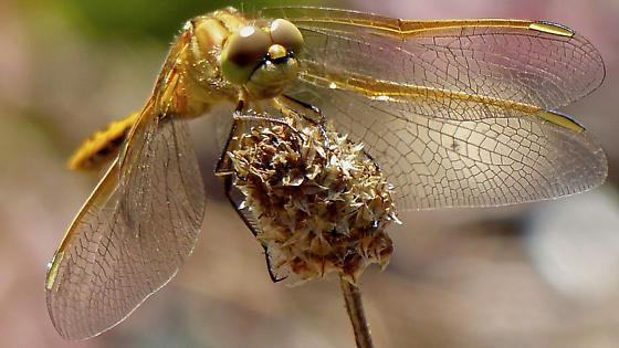 WA Dragonfly - Sympetrum costiferum