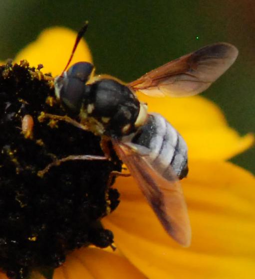 Fly on Brown-eyed Susan (Rudbeckia triloba) - Hoplitimyia constans - male