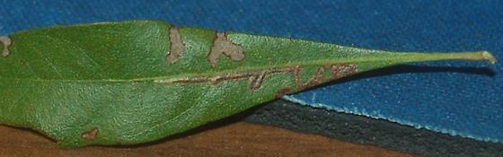 St. Andrews leaf miner on Morella cerifera SA1713 Stignella green 2020 1.1 - Stigmella myricafoliella