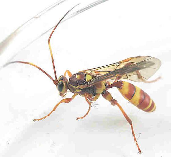 Ichneumonidae --??