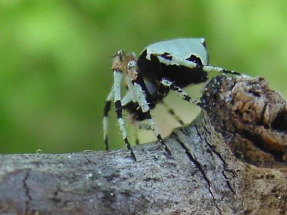 Florida Spider - Eustala anastera