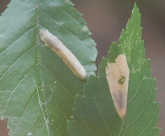 Stagecoach road leaf miner on Ulmus alata D724 2017 2 - Phyllonorycter occitanica