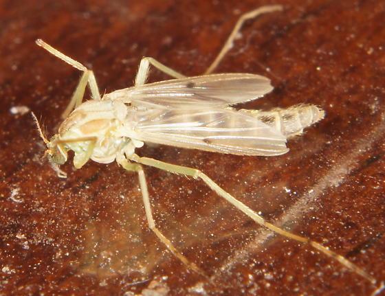 Unknown Midge - Chironomus - female
