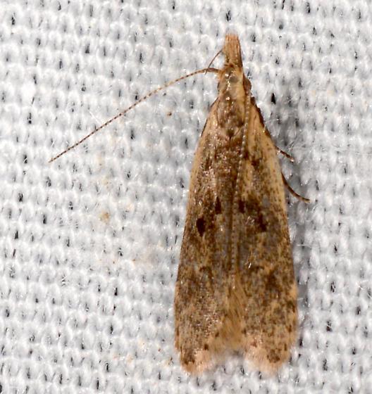 Dichomeris - Dichomeris punctipennella