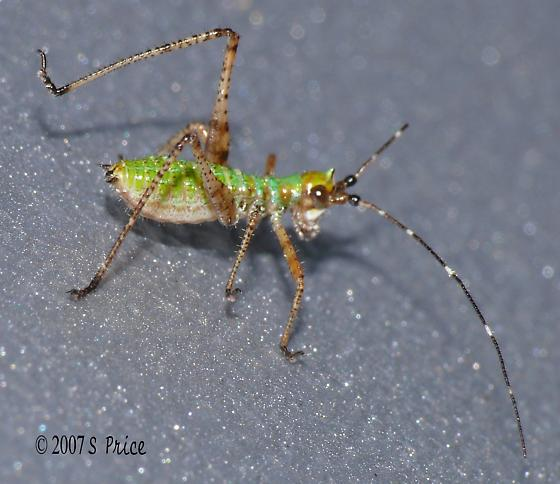 Nymph of some kind - Scudderia