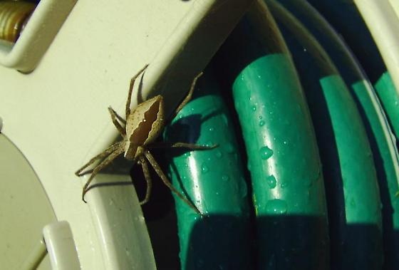 This guy met me on the garden hose reel - Pisaurina mira