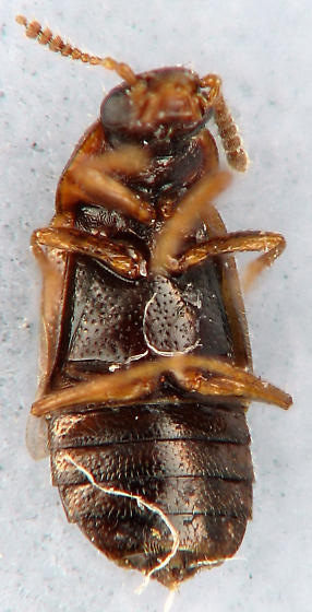 tiny one - Phyllodrepa humerosa