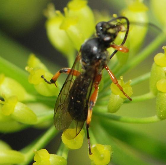 black and orange Ichneumon Wasp - Ichneumoninae - BugGuide.Net Black Ichneumon Wasp