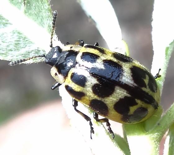 spotted beetle on willow at pond edge - Chrysomela knabi