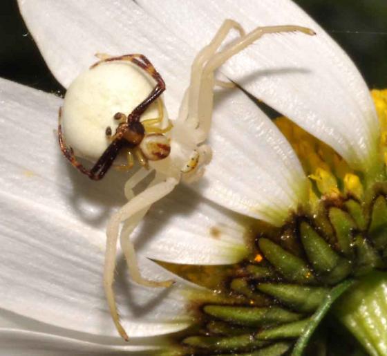 crab spider- female, male pair - Misumena vatia - male - female
