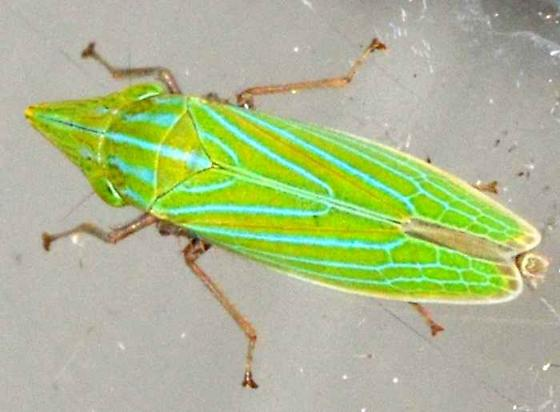 ? - Draeculacephala producta