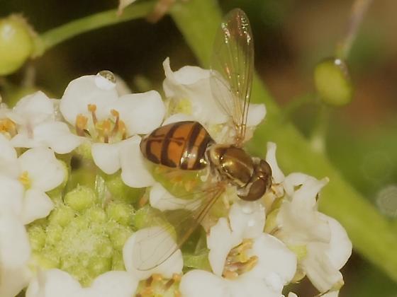 Syrphidae? 5a - Toxomerus marginatus