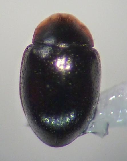 Corylophidae? - Clypastraea