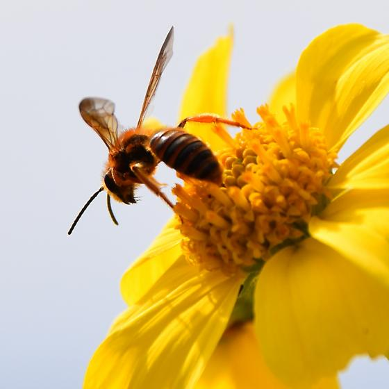 Wasp  - Andrena - male